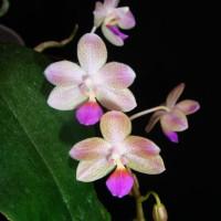 Phal.Javalin (javanica x lindenii)