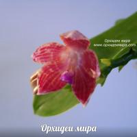 Phalaenopsis javanica x speciosa
