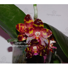 Phal. Jongs Gigan Cherry Prince