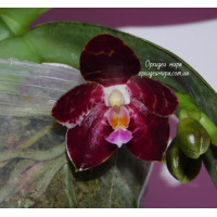 Phal. Jongs Gigan Cherry