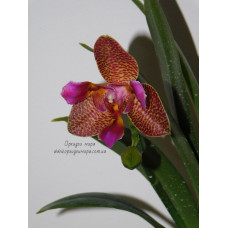 Phal. Joy Fairy Tale Joy 2,5   3 lips