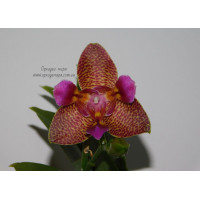 Phal. Joy Fairy Tale 3 lips 1,7