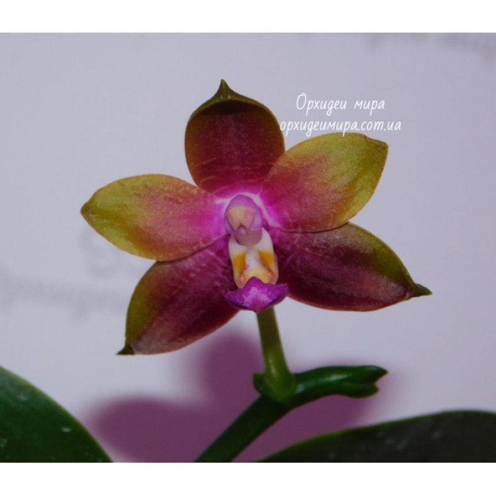 Phal. KS Happy Eagle x Hawaii Dragon Girl