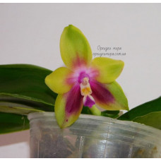 Phal. Ks Happy Eagle Wilson