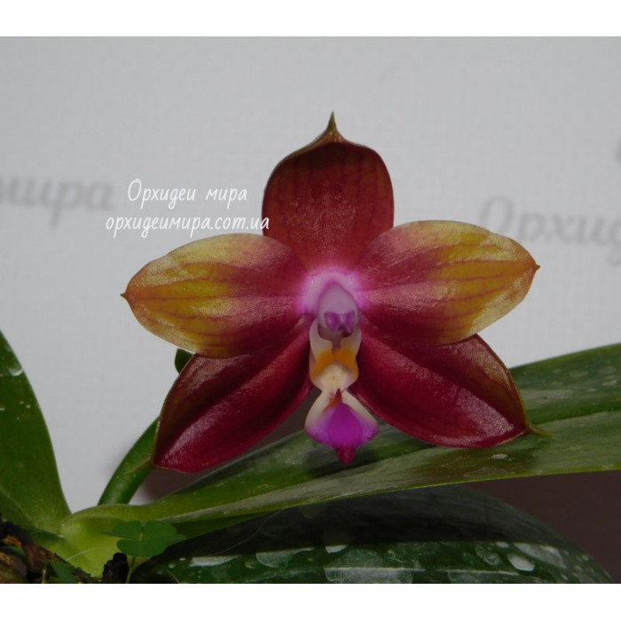 Phal. LDs Bear King Yk 10