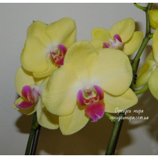 Phal. Lime Light