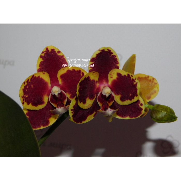 Phal. Lioulin Goldfinch x Sunrise Red Peoker №2