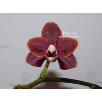 Phal. Lioulin Goldfinch x Sunrise Red Peoker №4