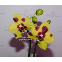 Phal. Lioulin Goldfinch