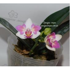 Phal. Lius Berry бабочка 2,5