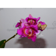 Phal. Lius Bride Rouge KF 1 3 lips