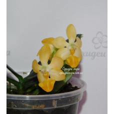 Phal. Lius Gold Coin