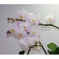 Phal. Lius Sakura KF 4N