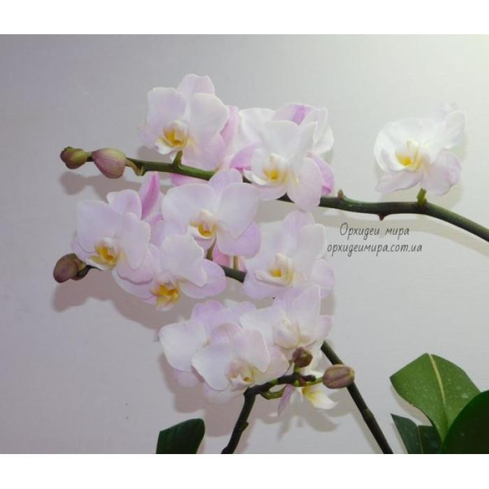 Phal. Lius Sakura KF 4N уценка