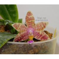 Phal. Luedde-Violacea x (Coral Isles x Fasciata)