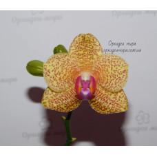 Phal. Miro Sun x Yaphon Goldrose №3