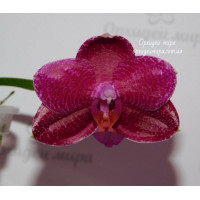 Phal. Mituo King Big Pink