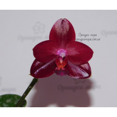 Phal. Mituo King Red Pepper