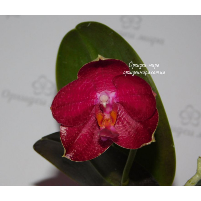 Phal. Mituo Red Sun
