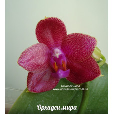 Phal. Mituo Sun Mituo No1 x Lds Bear Queen