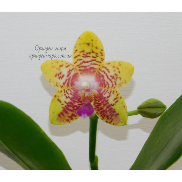 Фаленопсис (Orchid World)