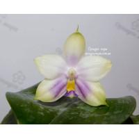 Phal. Penang Violacea var. alba №1