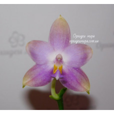 Phal. Penang Violacea
