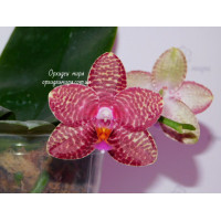Phal. Perfection is Chen