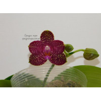 Phal. Perfection is Chen уценка