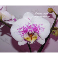 Phal. Philip Treacy