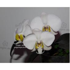 Phal. Philippinensis