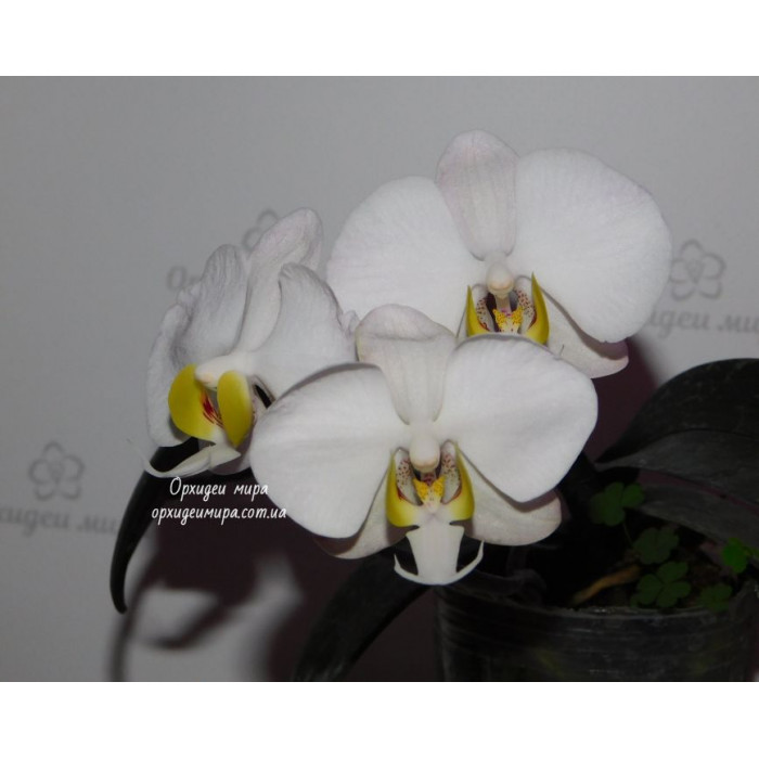 Фаленопсис Филиппиненсис (Philippinensis)