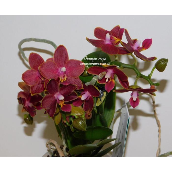Фаленопсис (Phoenix уценка)