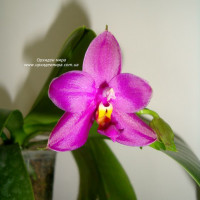 Phal. Samera × Su An Super Star