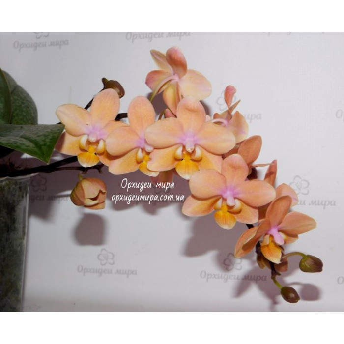 Phal. Scention
