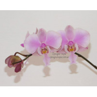 Phal. Schilleriana Pink Butterfly