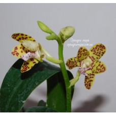 Phal. Sedirea Japonica × Vandopsis Parishii