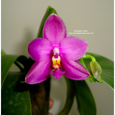 Phal. Shingher Pure Love