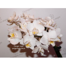 Phal. Snow Cloud