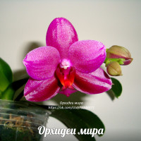 Phal. Sogo Grape
