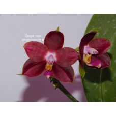 Phal. Sogo Kaiulani Wu x Brother Ambo Passion
