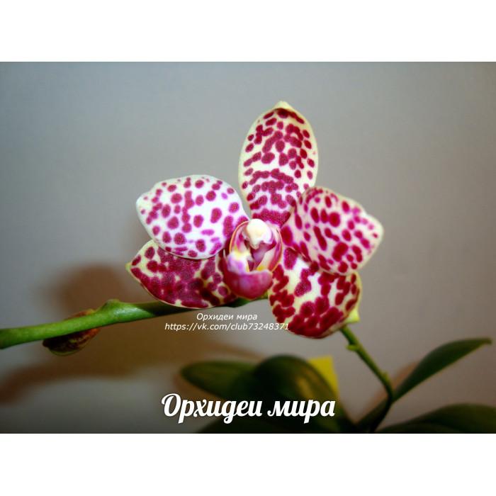 Фаленопсис (Sogo Pearl x Bastianii)