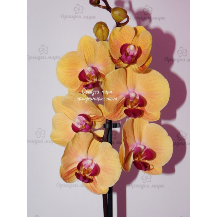 Phal. Solid Gold
