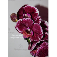 Phal. Sparkling Moments