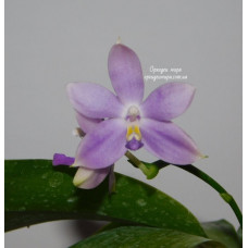 Phal. Speciosa Blue-coffee