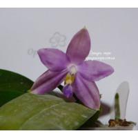 Phal. Speciosa x Violacea Indigo