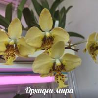 Phalaenopsis Stuartiana Yellow Strain
