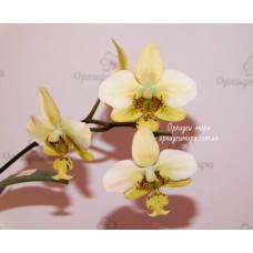 Phal. Stuartiana var. Nobilis × sib