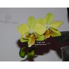 Phal. Stuartiana var. yellow