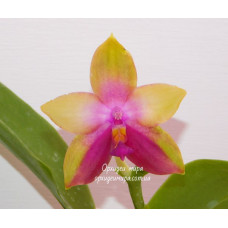 Phal. Tabasco Tex